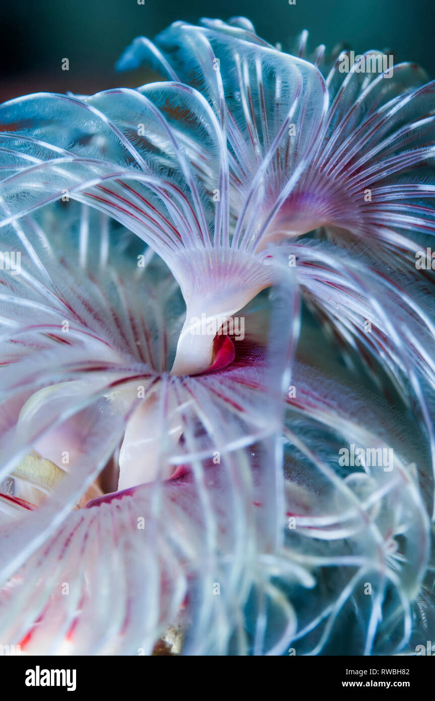 Magnificent feather duster worm [Protula magnifica].  Puerto Galera, Philippines. Stock Photo