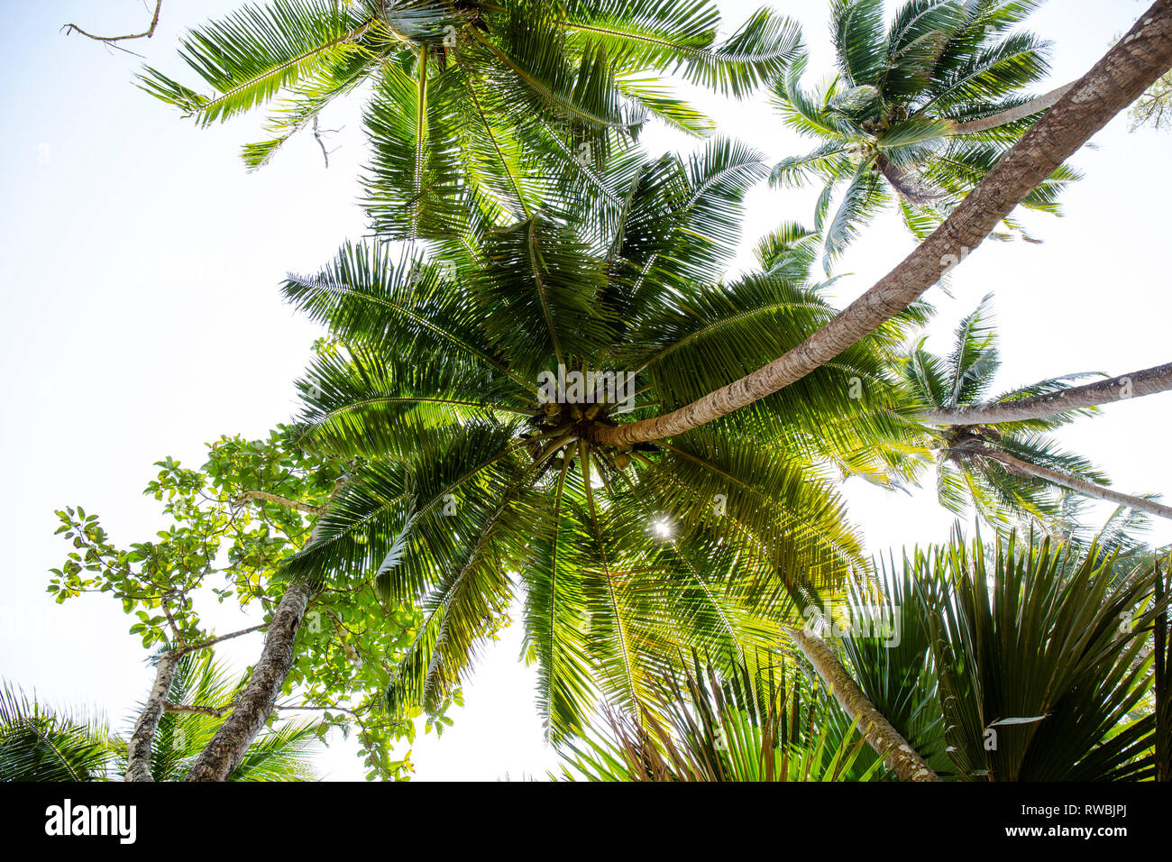 Coconut Palm trees as seen from below - Stock Image