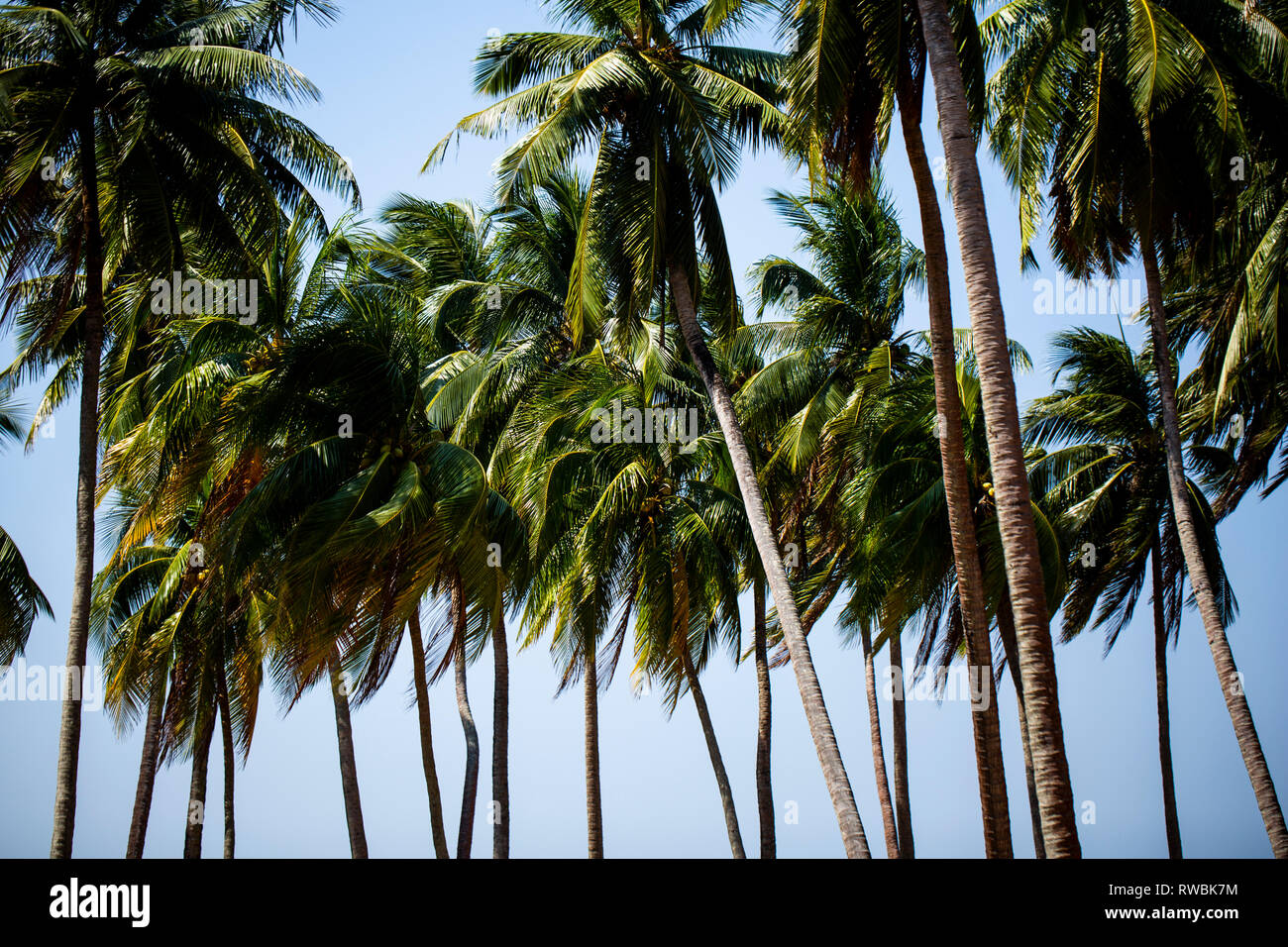 Coconut trees swaying in the wind on Ross Island part of the Andaman and Nicobar Islands of India - Stock Image