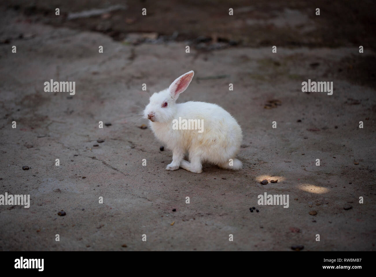 A white rabbit on Ross Island. They are quite tame and easy to spot. - Stock Image