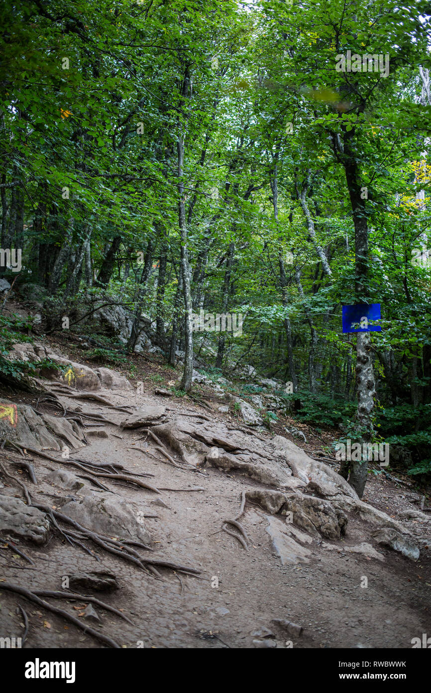 Tree roots and green forest on mount AI-Petri - Stock Image