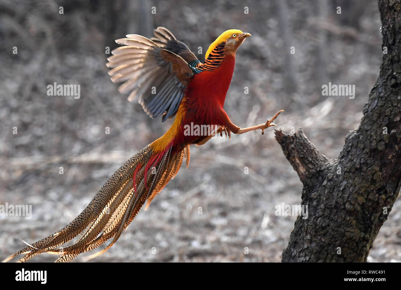 Ruyang, China's Henan Province. 5th Mar, 2019. A golden pheasant sports in the woods of Mengcun Village in Ruyang County, central China's Henan Province, March 5, 2019. Credit: Li An/Xinhua/Alamy Live News - Stock Image