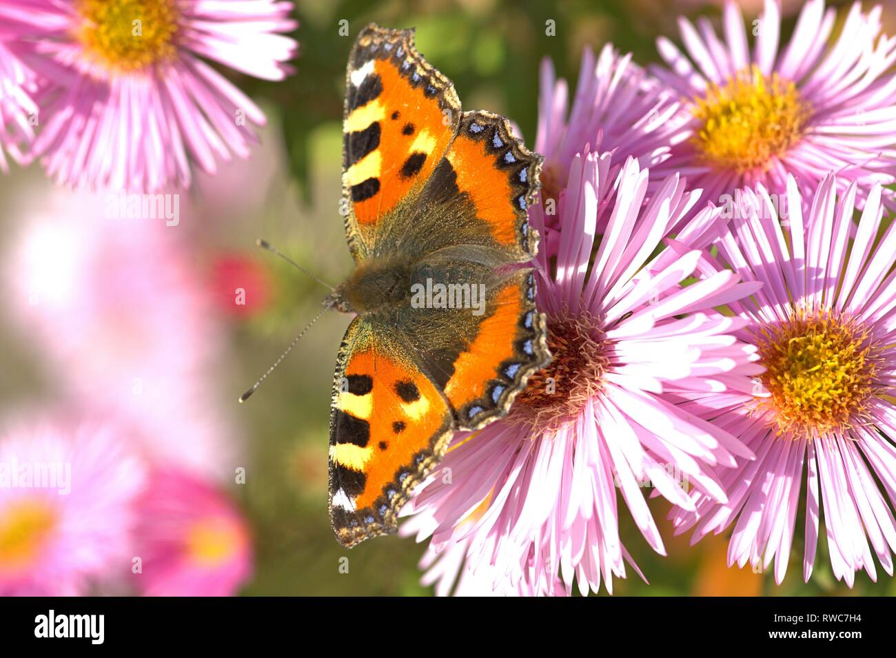 Schleswig, Deutschland. 11th Oct, 2018. A small fox (Aglais urticae, syn .: Nymphalis urticae), a butterfly of the family Nymphalidae in the best autumn weather on the blood of an aster in Furstengarten in Schleswig. Class: Insects (Insecta), Order: Butterflies (Lepidoptera), Family: Nymphalidae, Subfamily: Spotted Butterfly (Nymphalinae), Genus: Aglais, Species: Small Fox   usage worldwide Credit: dpa/Alamy Live News Stock Photo