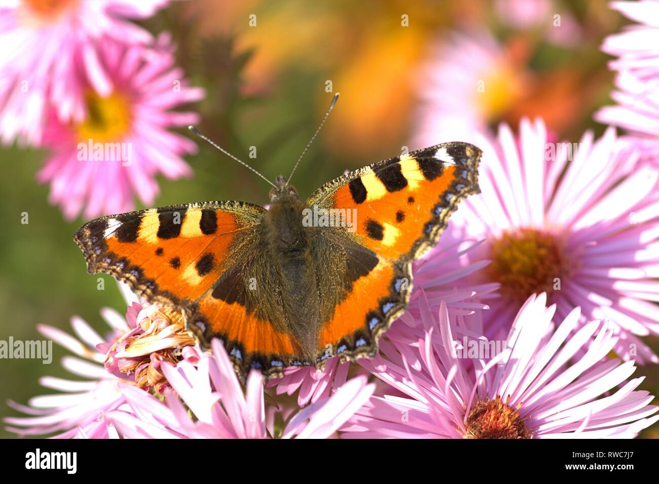Schleswig, Deutschland. 11th Oct, 2018. A small fox (Aglais urticae, syn .: Nymphalis urticae), a butterfly of the family Nymphalidae in the best autumn weather on the blood of an aster in Furstengarten in Schleswig. Class: Insects (Insecta), Order: Butterflies (Lepidoptera), Family: Nymphalidae, Subfamily: Spotted Butterfly (Nymphalinae), Genus: Aglais, Species: Small Fox | usage worldwide Credit: dpa/Alamy Live News Stock Photo