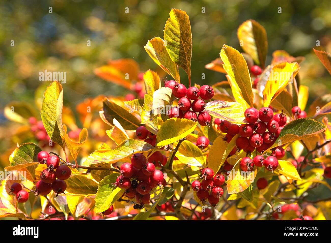 Schleswig, Deutschland. 11th Oct, 2018. Detail of a autumn-colored cockerel hawthorn tree (Crataegus crus-galli) in Schleswig. Family: rose plants (Rosaceae), subfamily: Spiraeoideae, tribe: pyreae, sub-tribe: pome fruit (Pyrinae), genus: hawthorn (Crataegus), species: hawthorn hawthorn   usage worldwide Credit: dpa/Alamy Live News Stock Photo