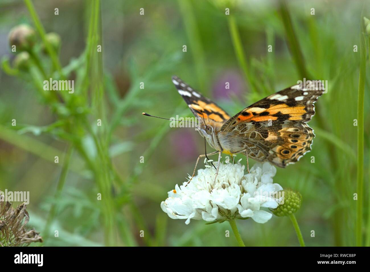 Schleswig, Deutschland. 16th Aug, 2018. A Painted Lady (Vanessa cardui, Syn .: Cynthia cardui), a butterfly of the Nymphalidae family on a flower in a flowerbed in the Furstengarten in Schleswig. Class: Insects (Insecta), Order: Butterflies (Lepidoptera), Uberfamilie: Papilionoidea, Family: Nymphalidae, Genus: Vanessa, Species: Painted Lady | usage worldwide Credit: dpa/Alamy Live News - Stock Image