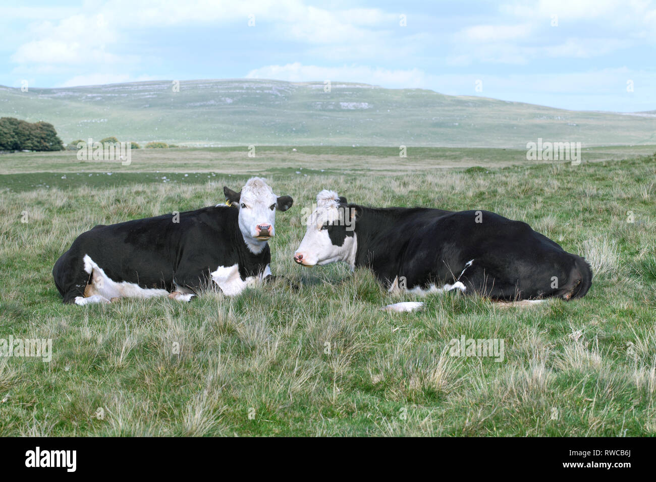 Cows on the moors near Malham Tarn in the Yorkshire Dales. Great Close Scar in the background. - Stock Image