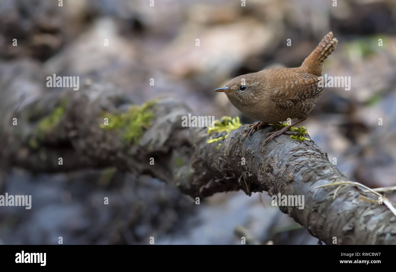 Eurasian wren lurking in the roots near ground - Stock Image