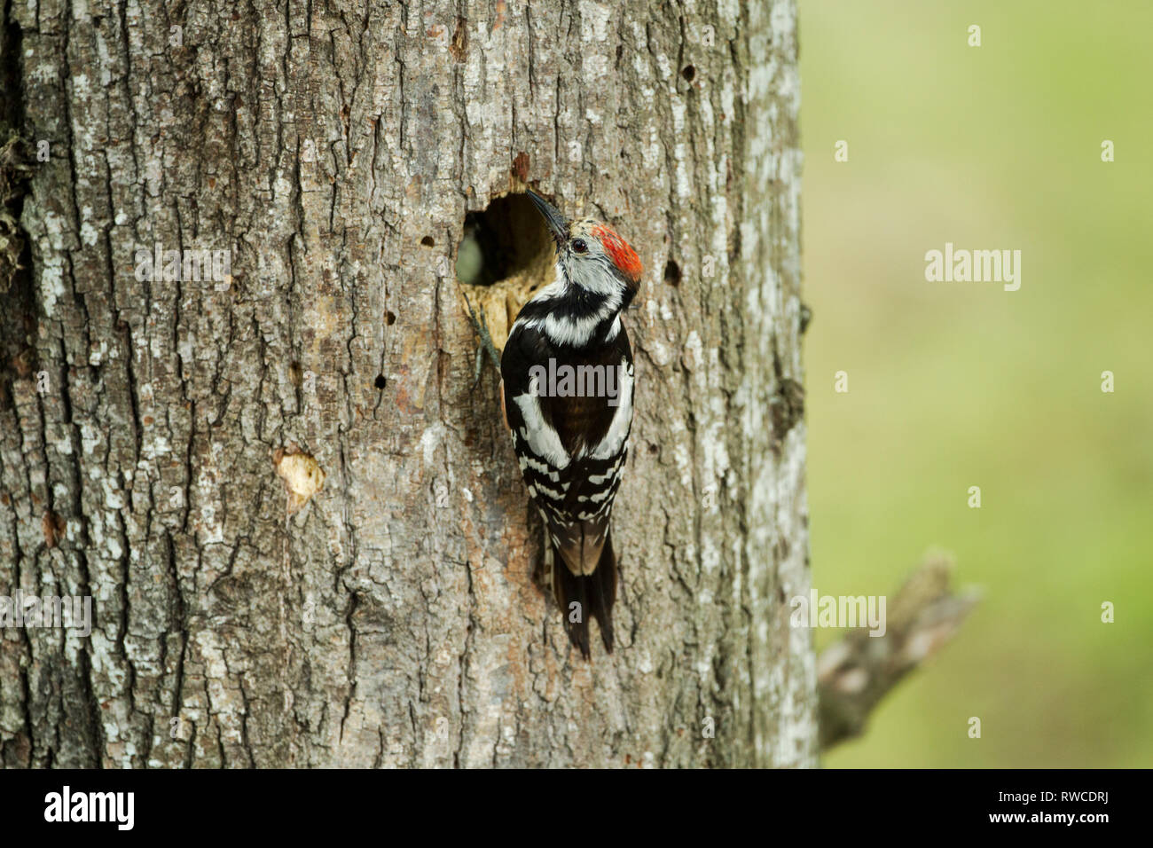 Middle spotted woodpecker, Latin name Dendrocoptes medius, at nest hole Stock Photo