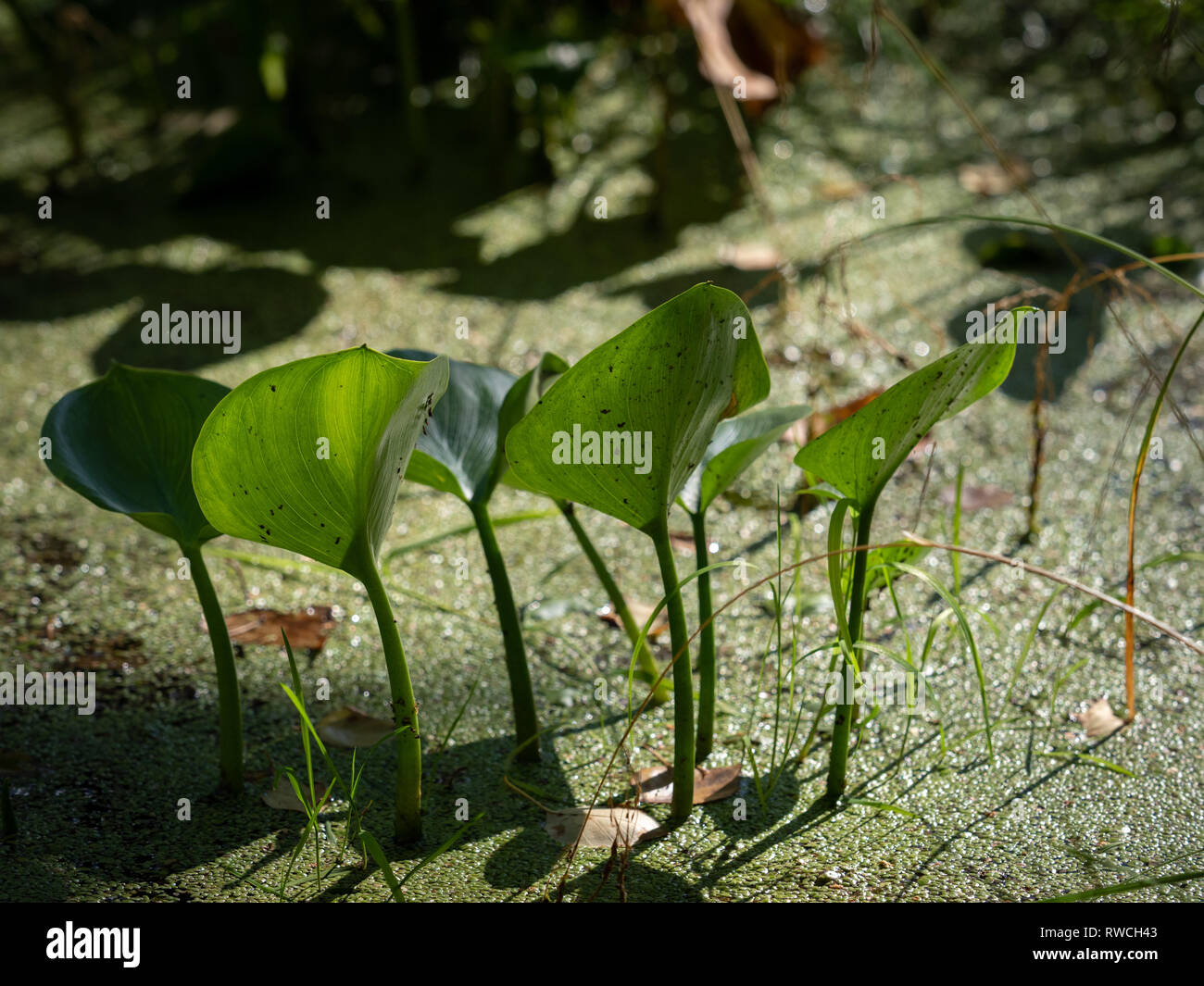 Aquatic plant calla bog arum, marsh calla, wild calla, squaw claw, and water-arum on the shore of a lake covered with mud.. Autumn sunset Stock Photo
