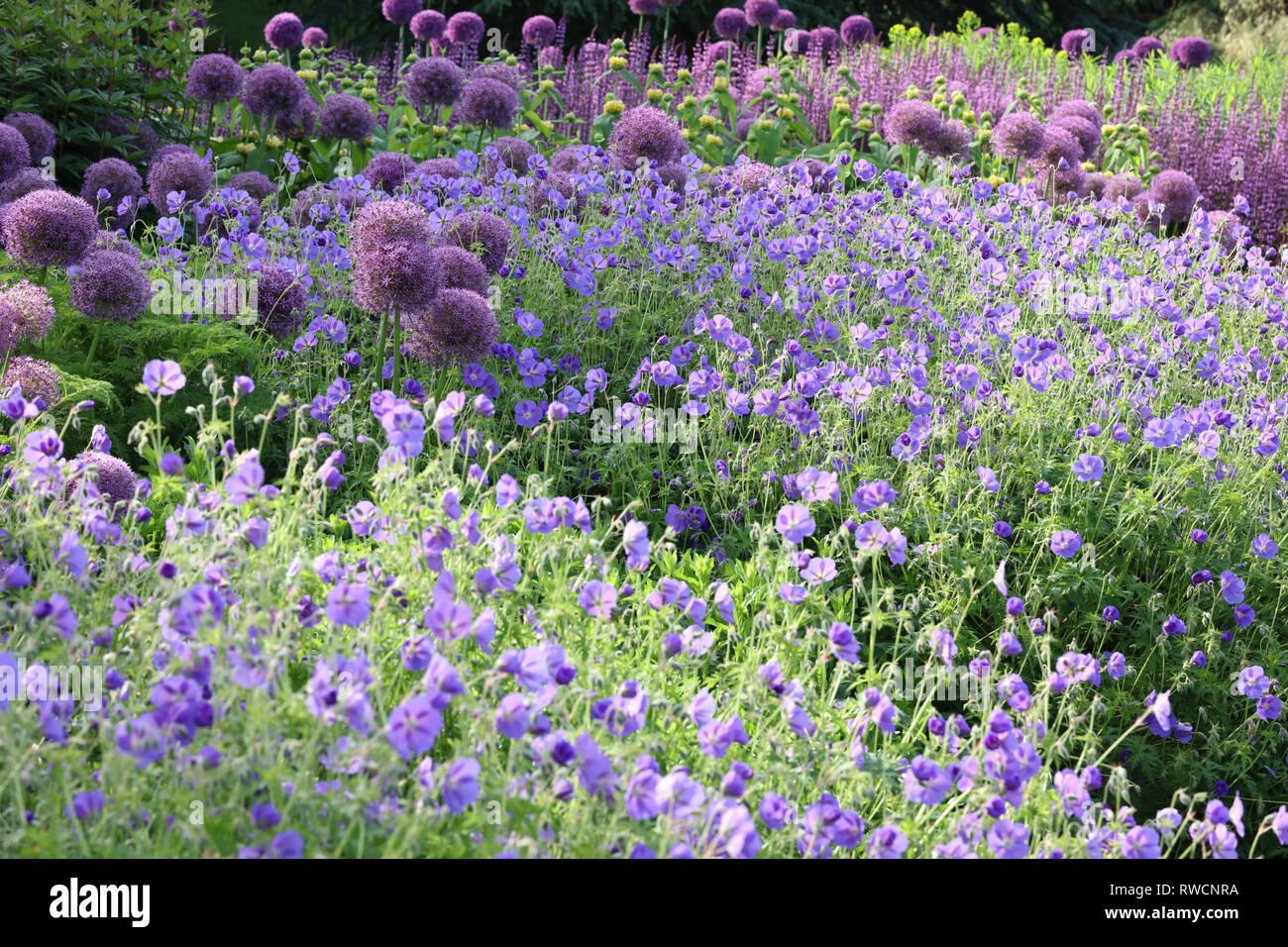 Large Group Of Allium Gladiator Planted With Geranium Rozanne