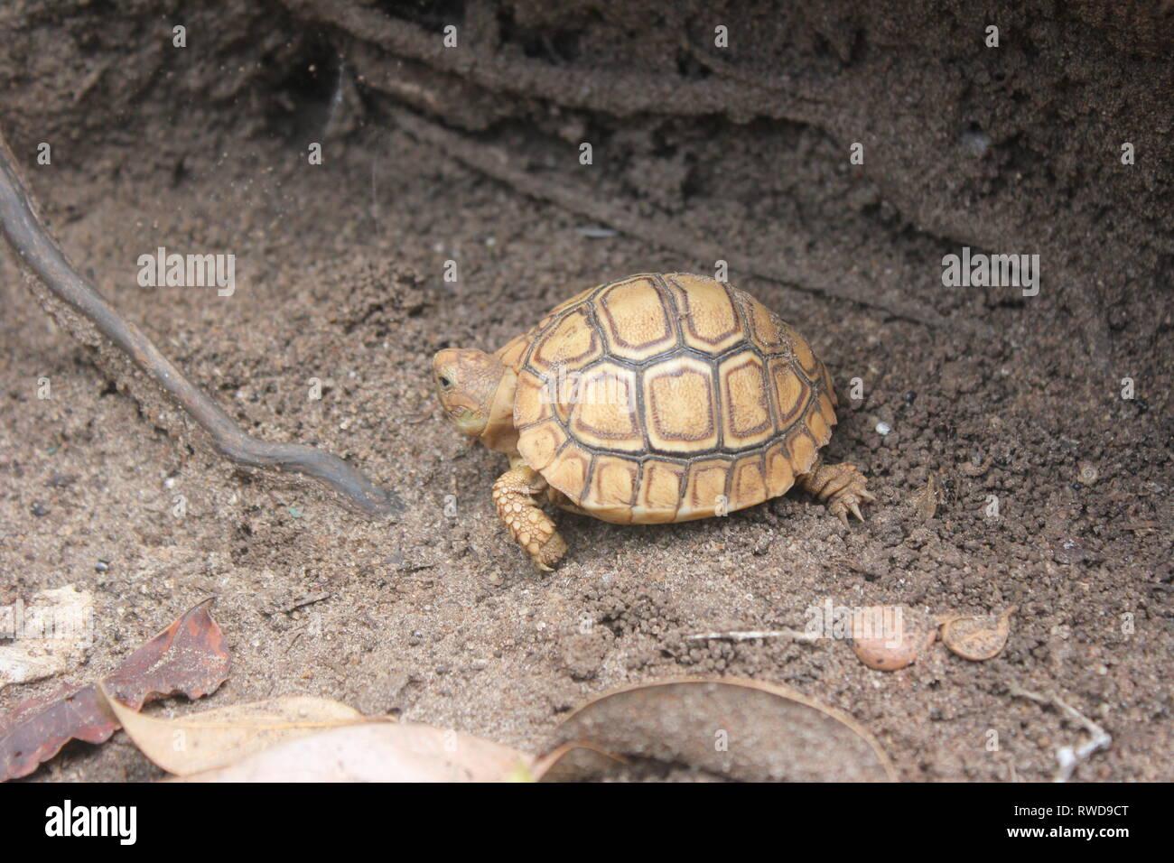 A juvenile Leopard Tortoise (Geochelone pardalis) in the coatal bush of Diani Beach, Kenya. - Stock Image