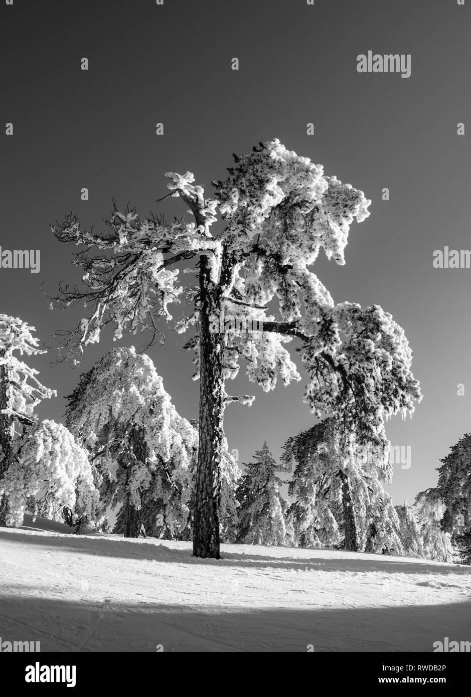 Snow fall at Olympos at Troodos, Cyprus - Stock Image