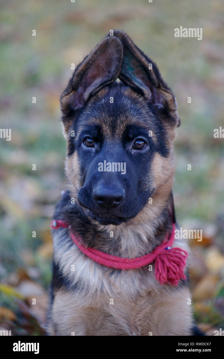 Cute german shepherd dog puppy is looking at the camera. Two month old. Pet animals. Purebred dog. - Stock Image