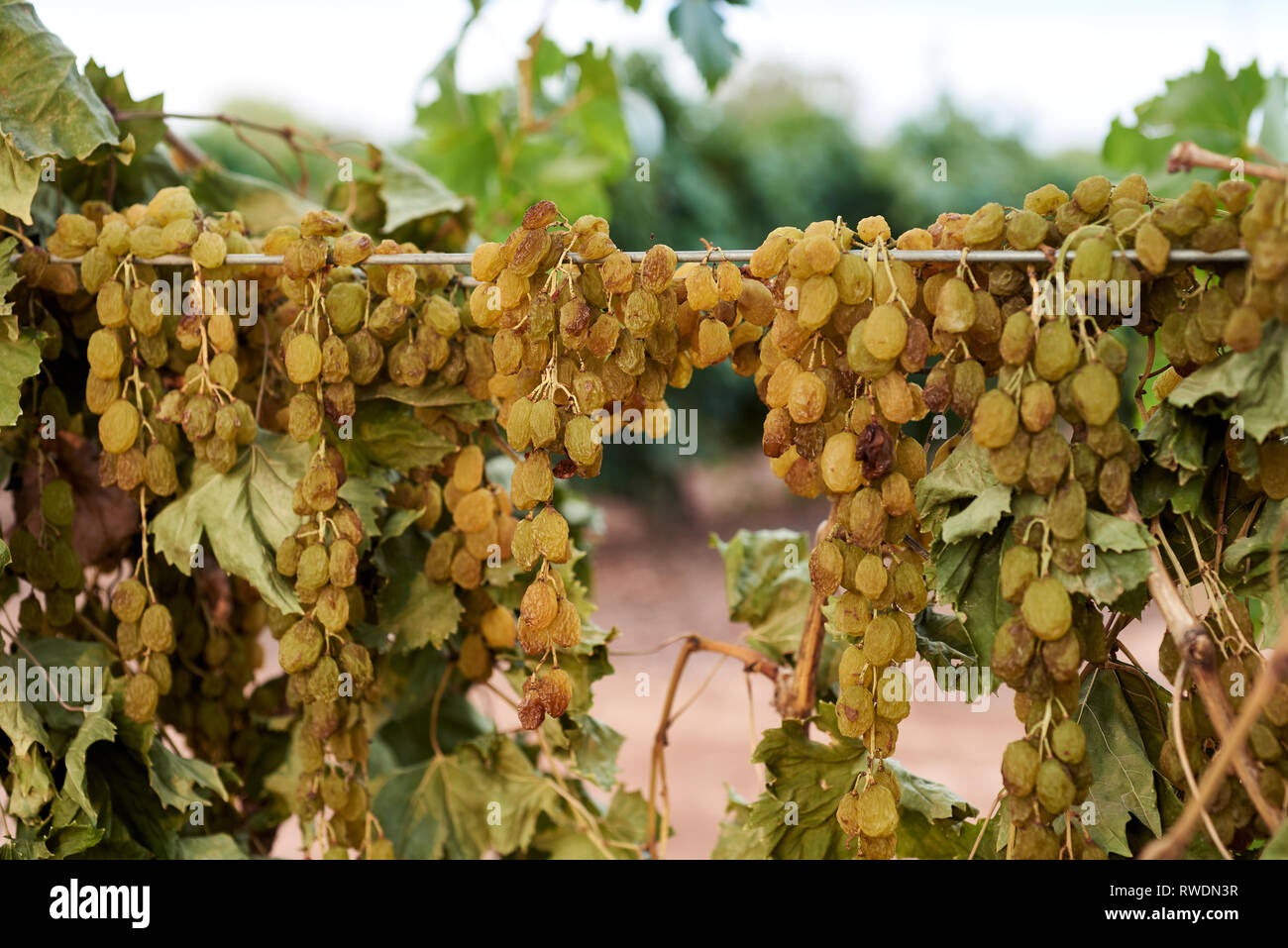 Sun Muscat grapes, drying on the vine, Mildura region. - Stock Image