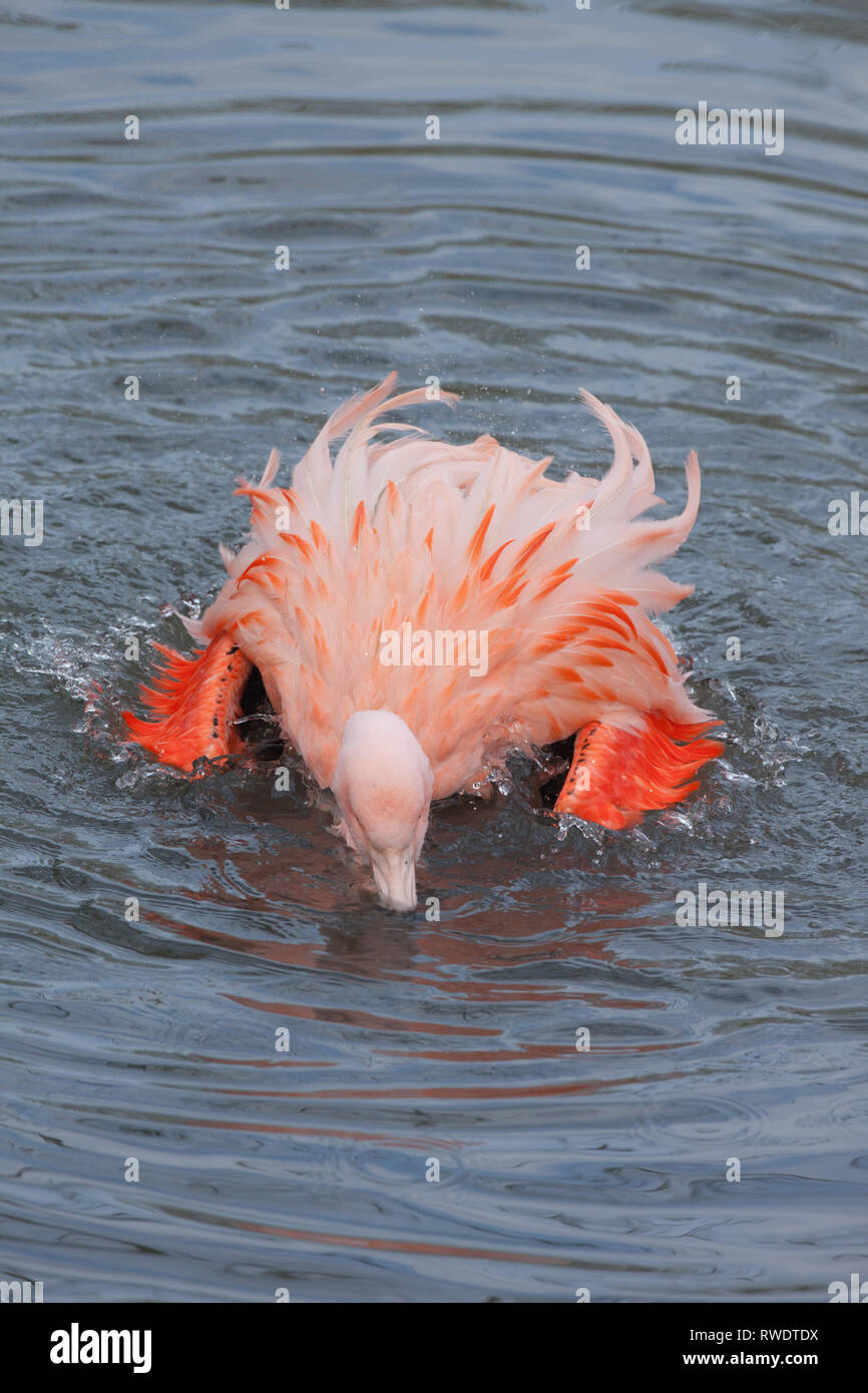 Chilean Flamingo (Phoenicopterus chilensis). An adult bathing; will use the head as a mop to shed water, from immersion, and then spread, distribute and work in oil from the gland on top of the tail. - Stock Image