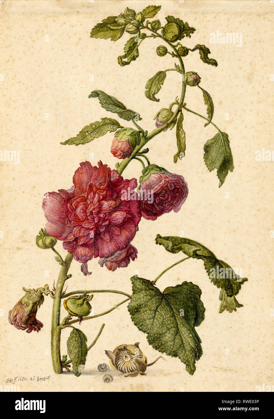 A Hollyhock; Herman Saftleven the Younger (Dutch, 1609 - 1685); Holland, Europe; September 21, 1682; Watercolor, gouache and black chalk framing lines - Stock Image