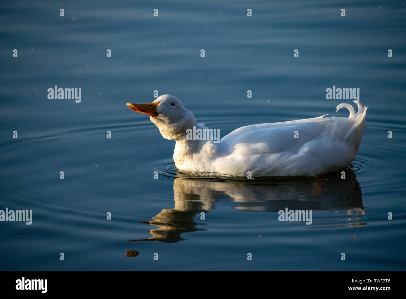 Heavy white ducks, American Pekin Duck also known as Aylesbury Duck shaking his head and feathers Stock Photo