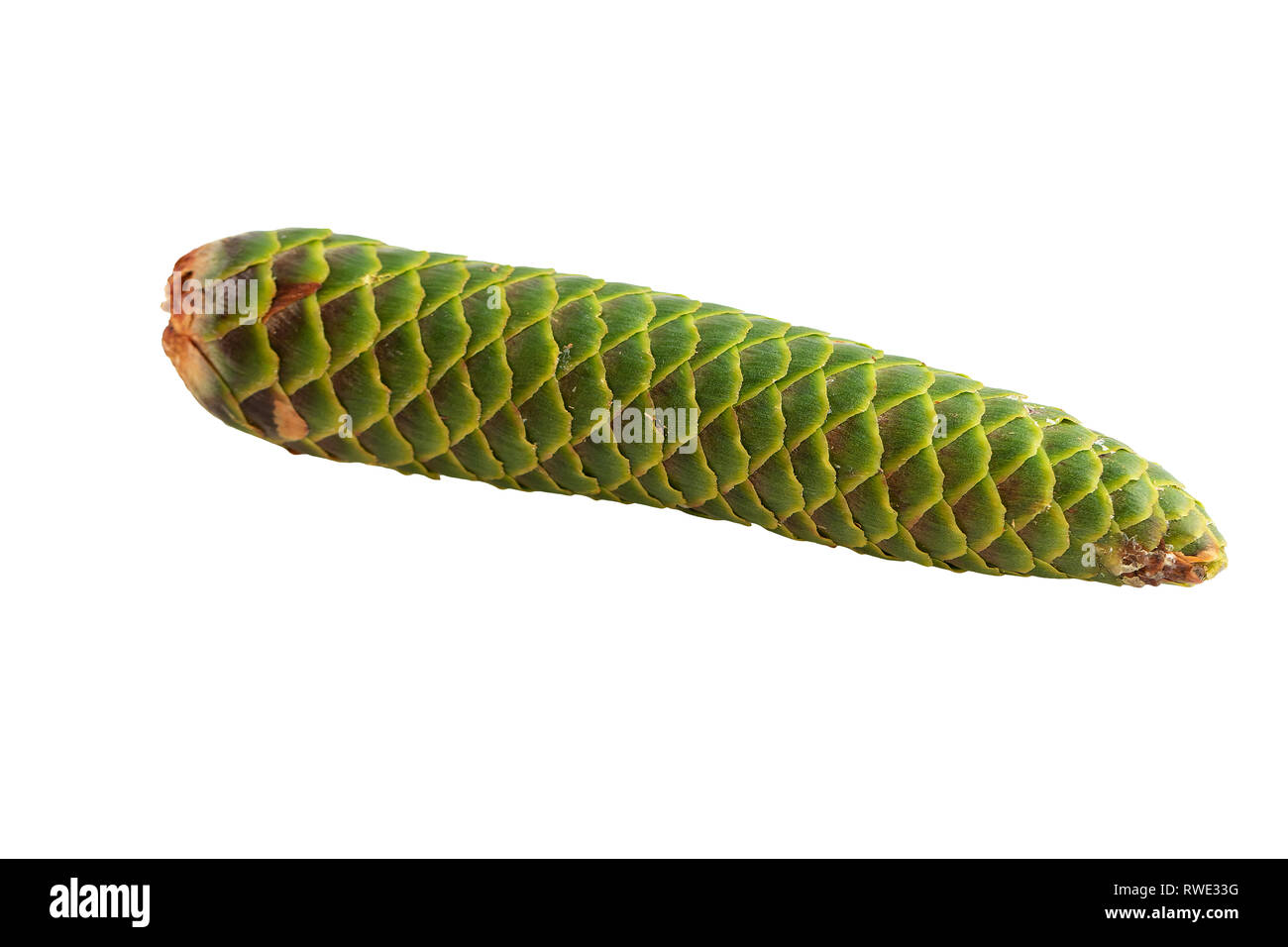 spruce cone green unripe closed isolated on white - Stock Image