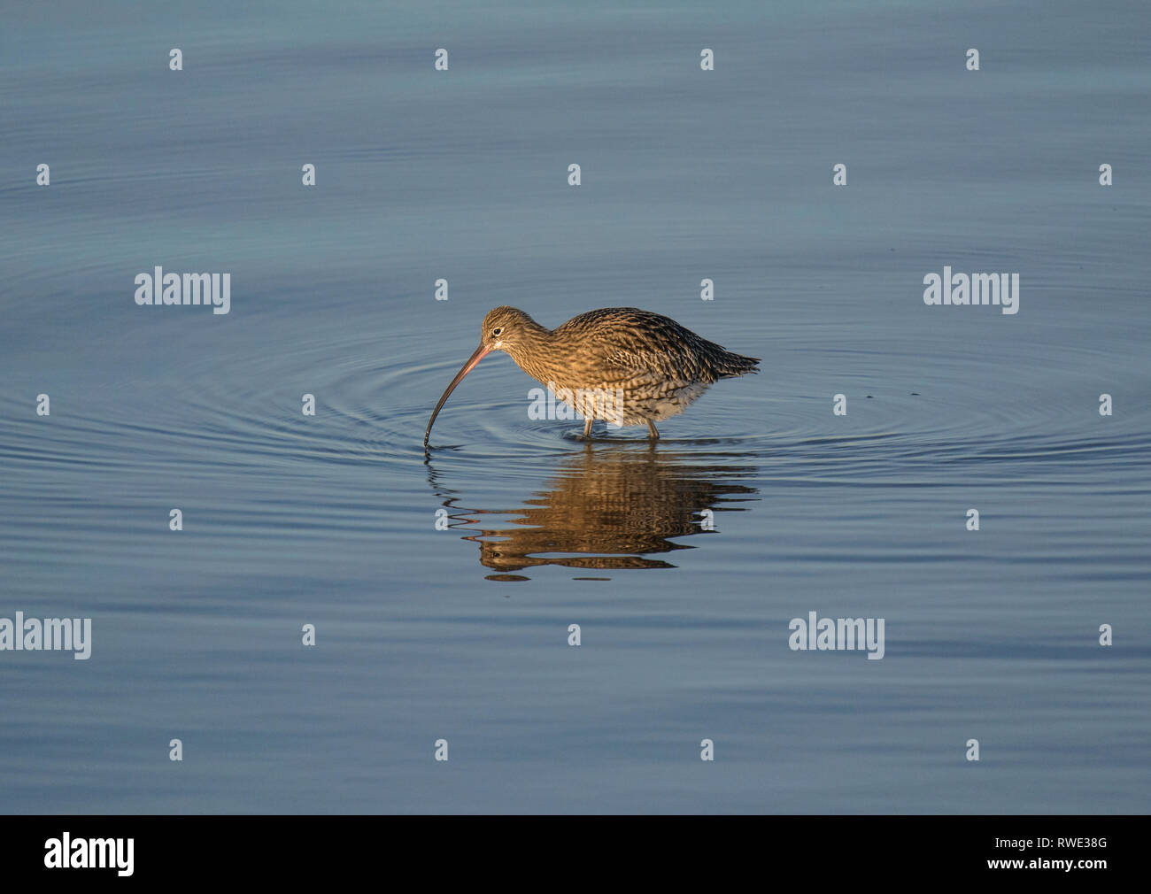 Curlew, Numenius arquata, feeding in shallow water, Morecambe Bay, Lancashire, UK Stock Photo