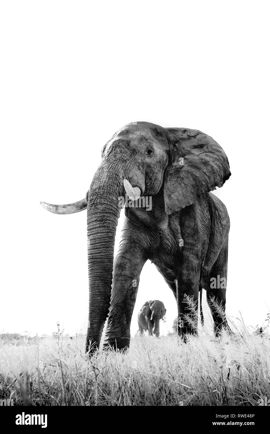 An abstract image from a low angle of elephants as they walk from Hwange national Park to Chobe National Park, Botswana. - Stock Image