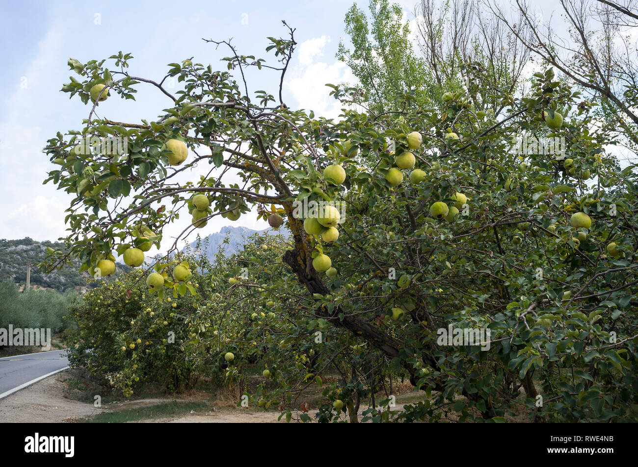 Quince fruits on the tree at harvest time in autumn in the Sierra Subbetica, Andalusia, Spain. - Stock Image