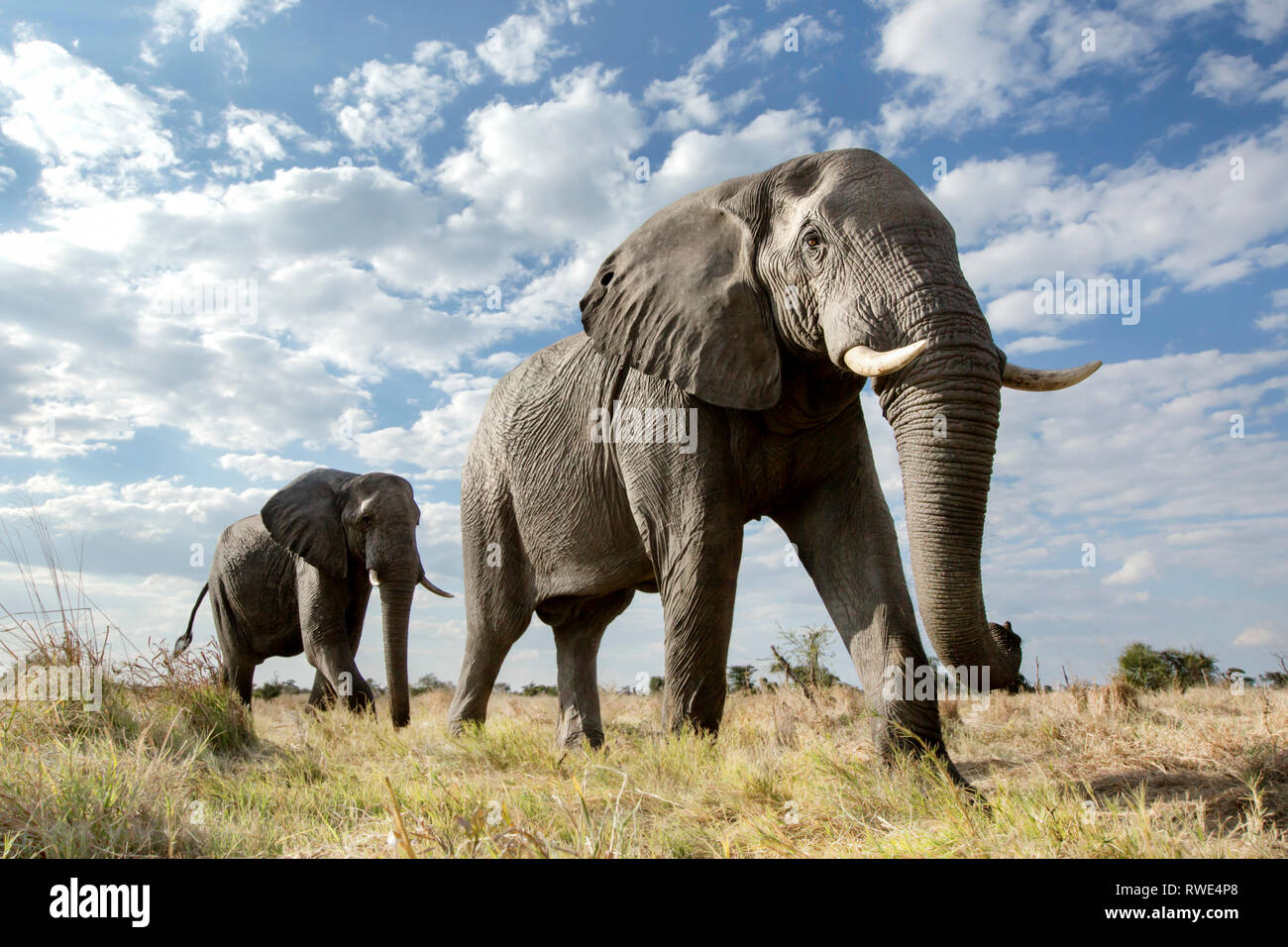 An abstract image from a low angle of elephants as they walk from Hwange national Park to Chobe National Park, Botswana. Stock Photo