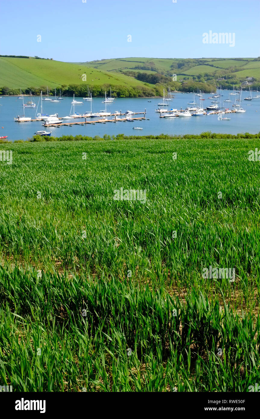 View of moorings and yachts on Salcombe Estuary taken from a field of early wheat on Snapes Point, Salcombe, Devon, UK. - Stock Image