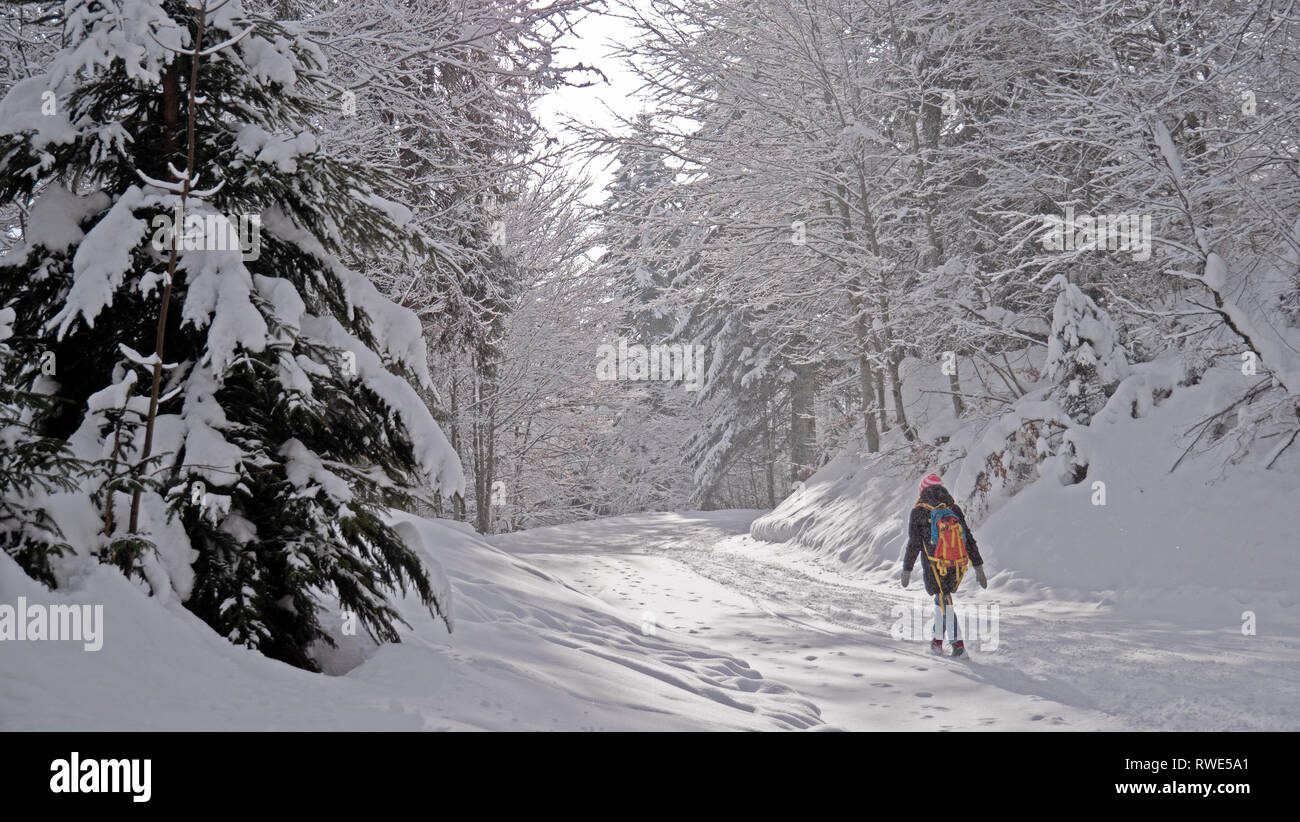 A lone female hiker walks through a snow covered forest in an alpine forest in winter. The footpath and trees are covered in fresh snow. Stock Photo