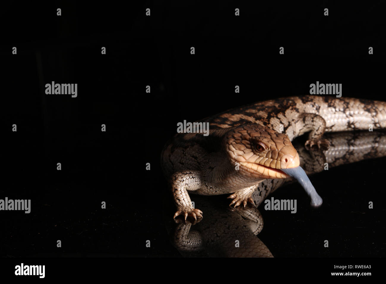 Blue Tongued Lizard with tongue out on black background - Stock Image