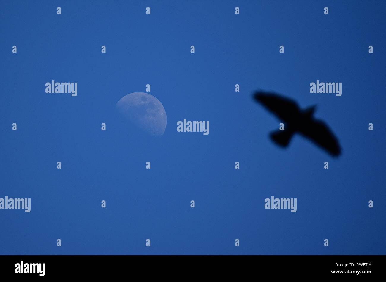 Skyscape, Moon/Bird, 150416 - Stock Image