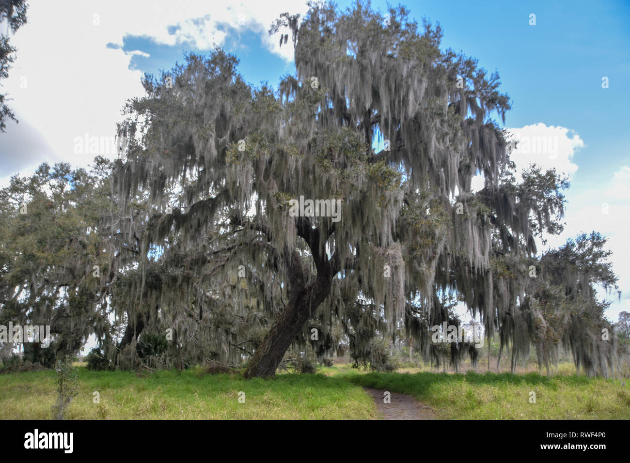 a shady oak to rest under at Circle B Ranch - Stock Image