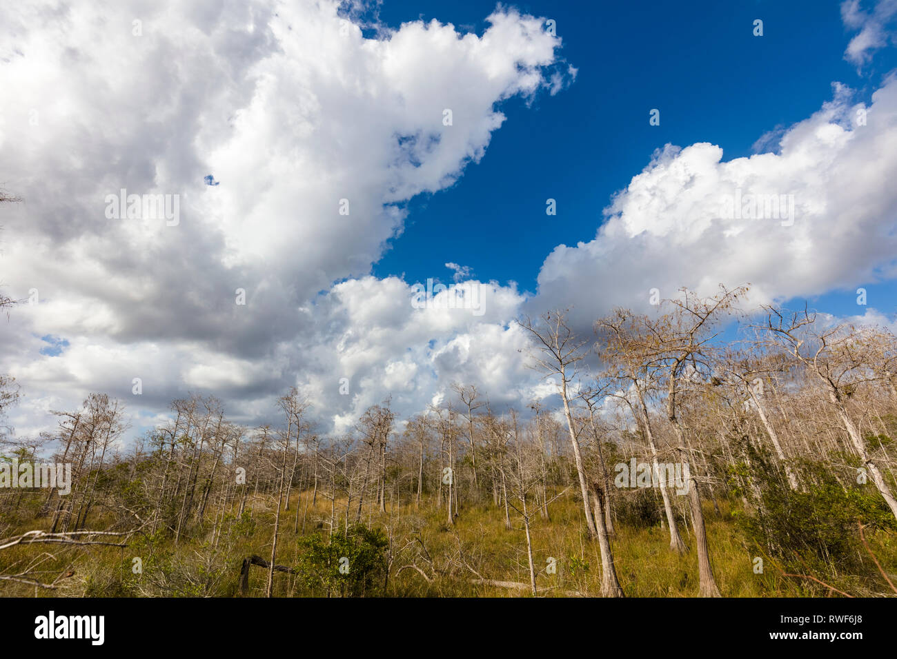 Big white clouds in blue sky behind Cypress trees at Kirby Storter Roadside Park in Big Cypress National Preserve on Tamiami Trail in southern Florida Stock Photo