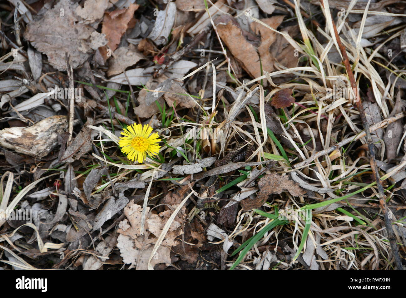first signs of spring - yellow flower popping out of the leave covered ground - Stock Image