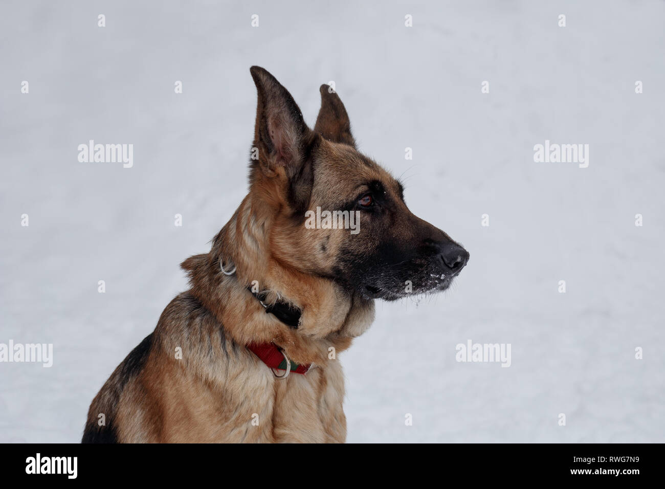 German shepherd with black mask is sitting on the white snow. Close up. Pet animals. Purebred dog. - Stock Image