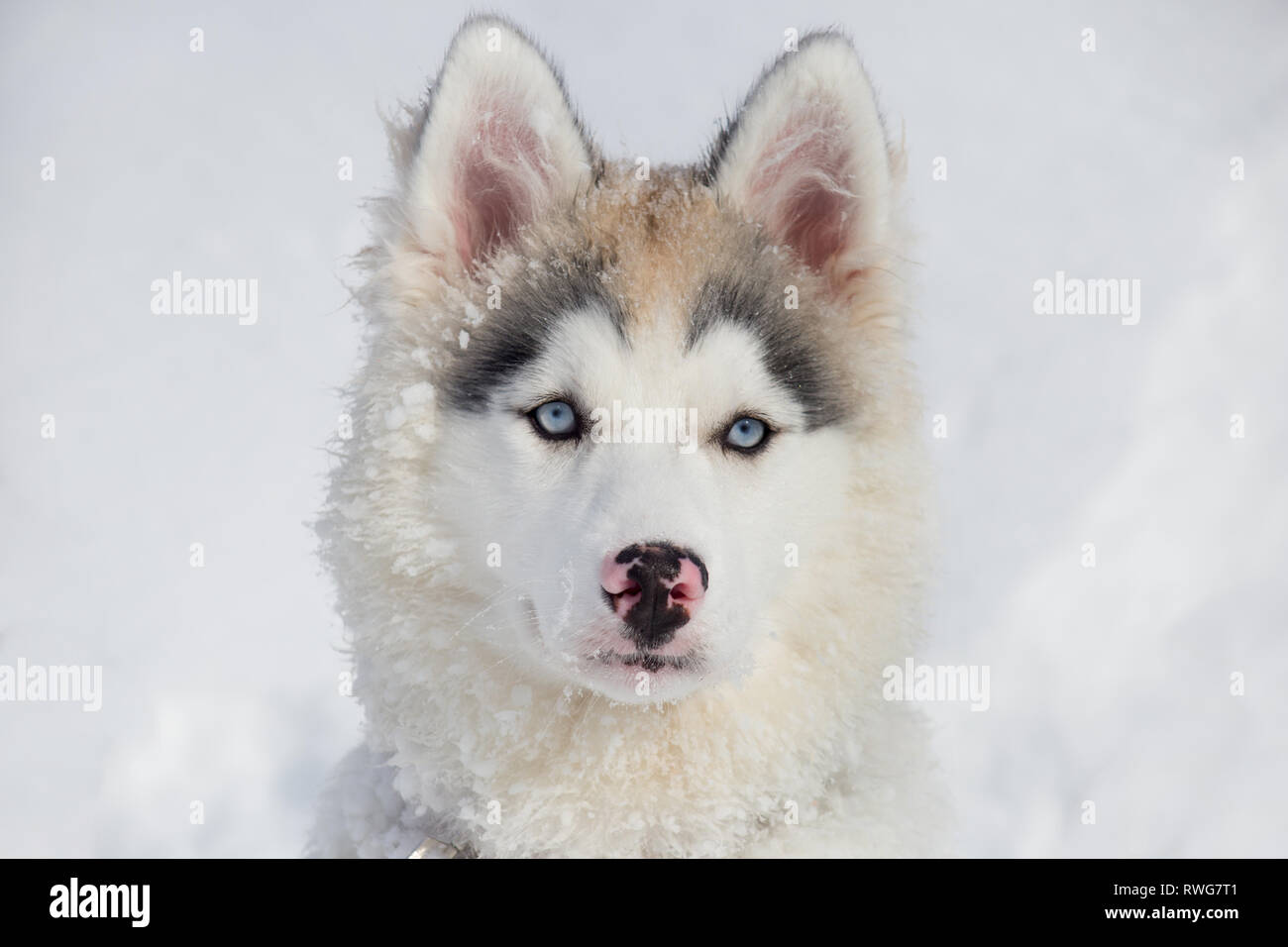 Cute Siberian Husky Puppy With Blue Eyes Two Month Old Pet Animals Purebred Dog Stock Photo Alamy