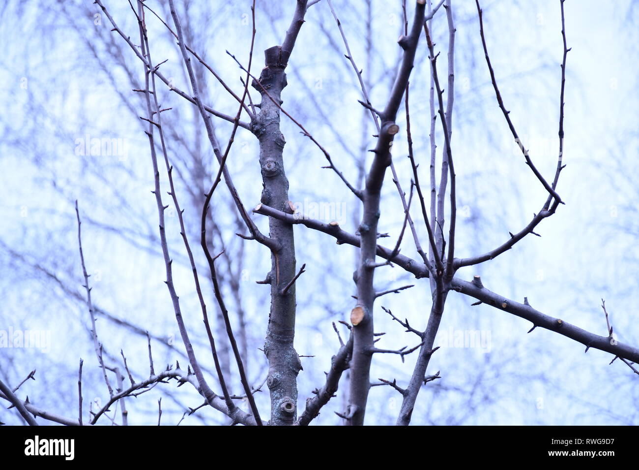 fruit tree pruning - wintercut Stock Photo