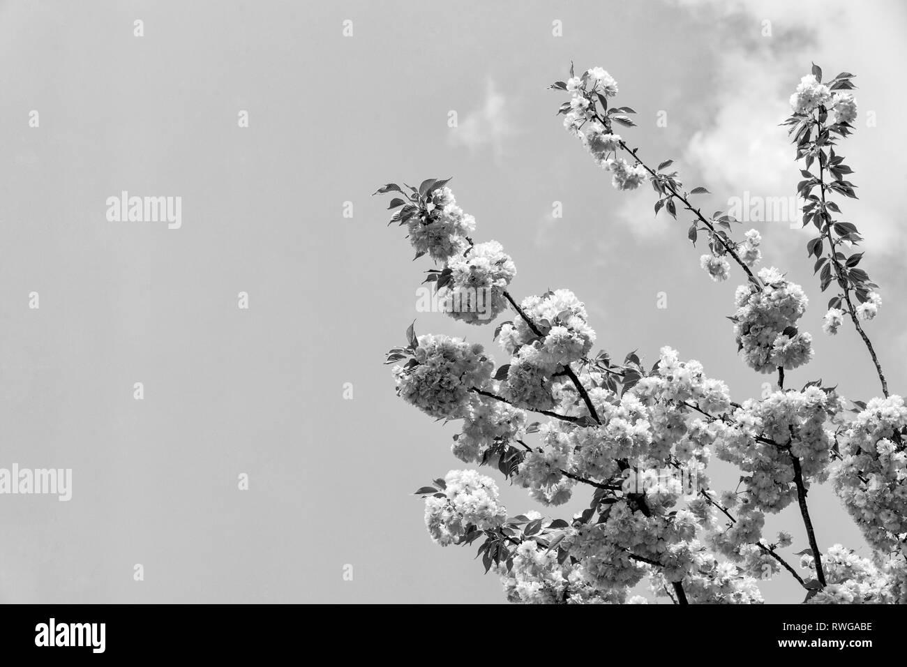 Renewal, rebirth, new life awakening. Sakura tree in blossom on blue sky. Cherry flowers blossoming in spring. Sakura blooming season concept. Nature, beauty, environment, copy space - Stock Image