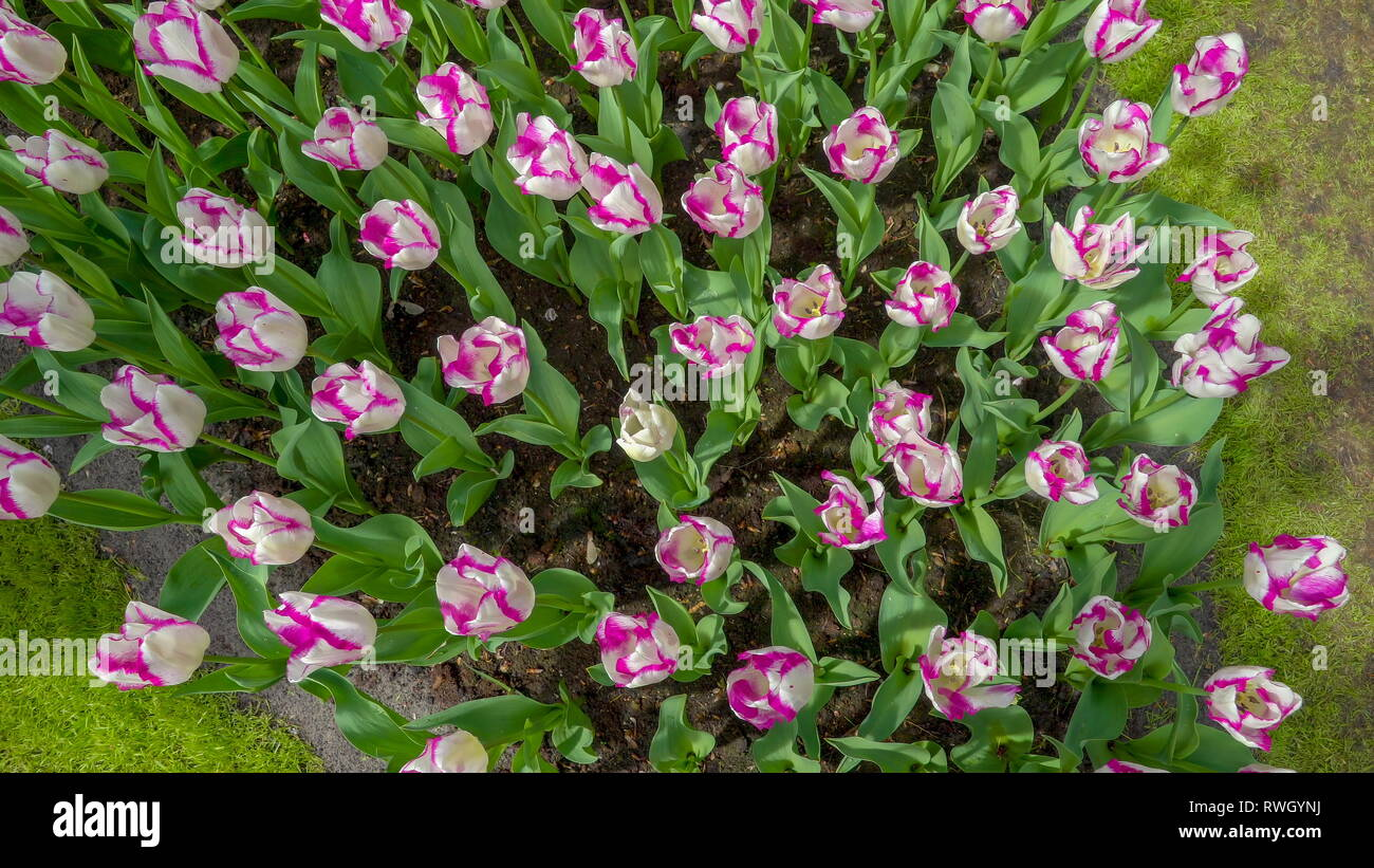The view from the top of the purple and white tulips flowers waving swiftly on the breeze of the wind during the spring in Netherland - Stock Image