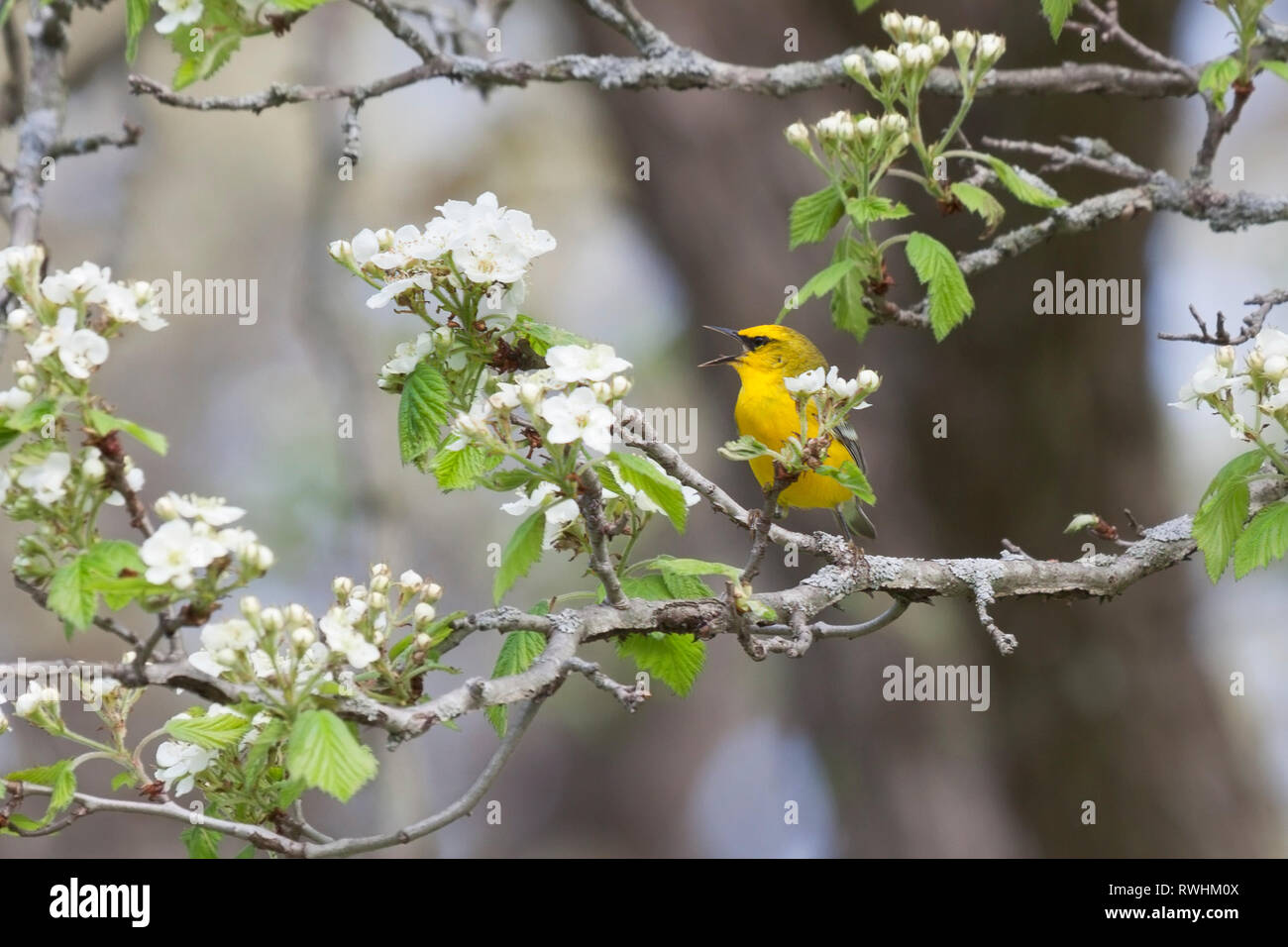 A blue winged warbler sings a songs while trying to hide behind an apple blossom. - Stock Image