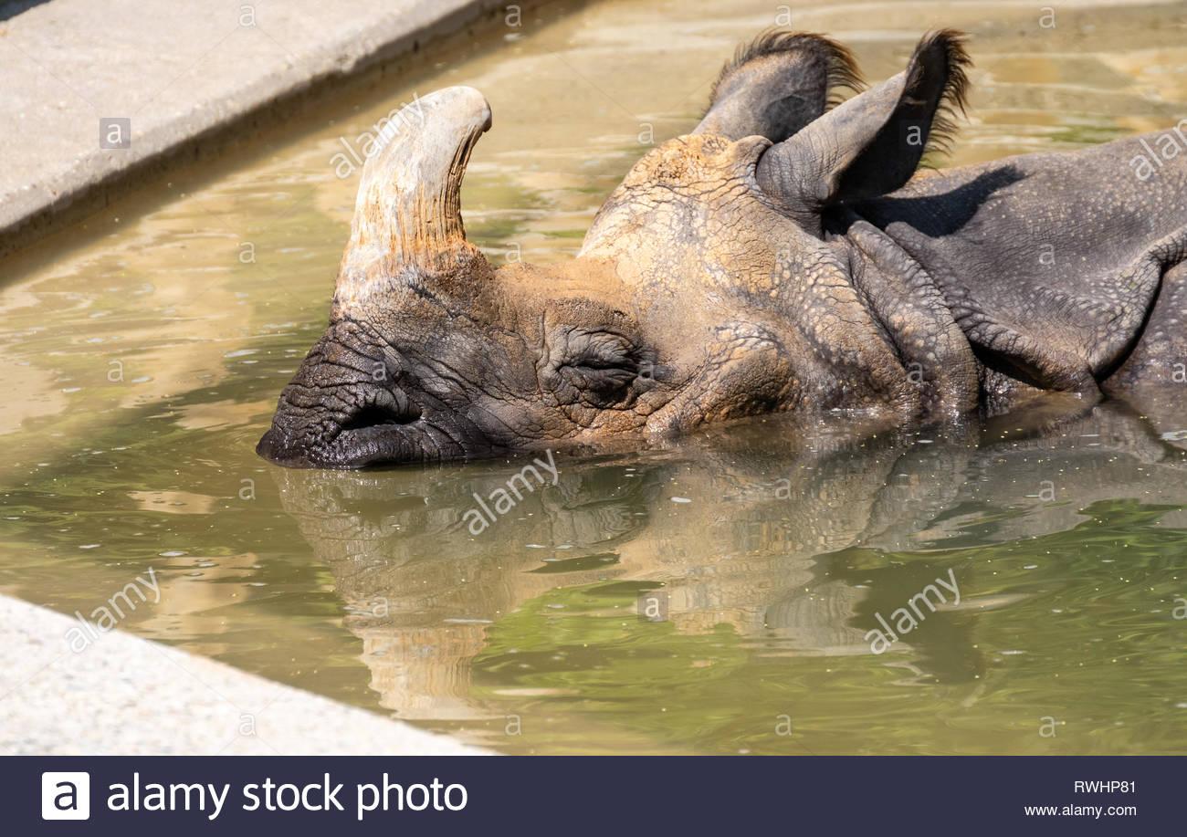 Nashorn im Wasser - Stock Image