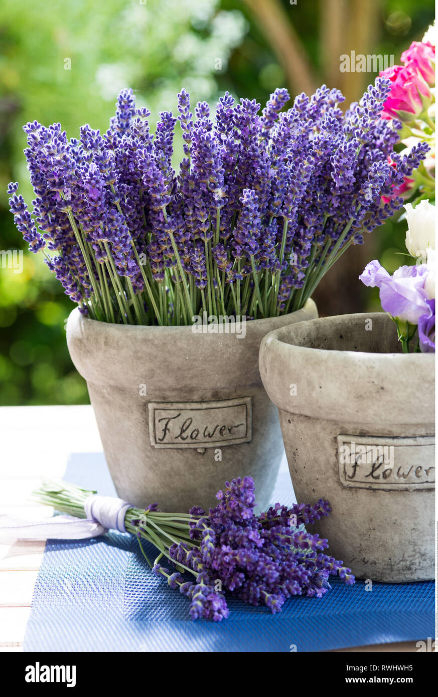 botany, summerly decoration with lavender, Caution! For Greetingcard-Use / Postcard-Use In German Speaking Countries Certain Restrictions May Apply - Stock Image