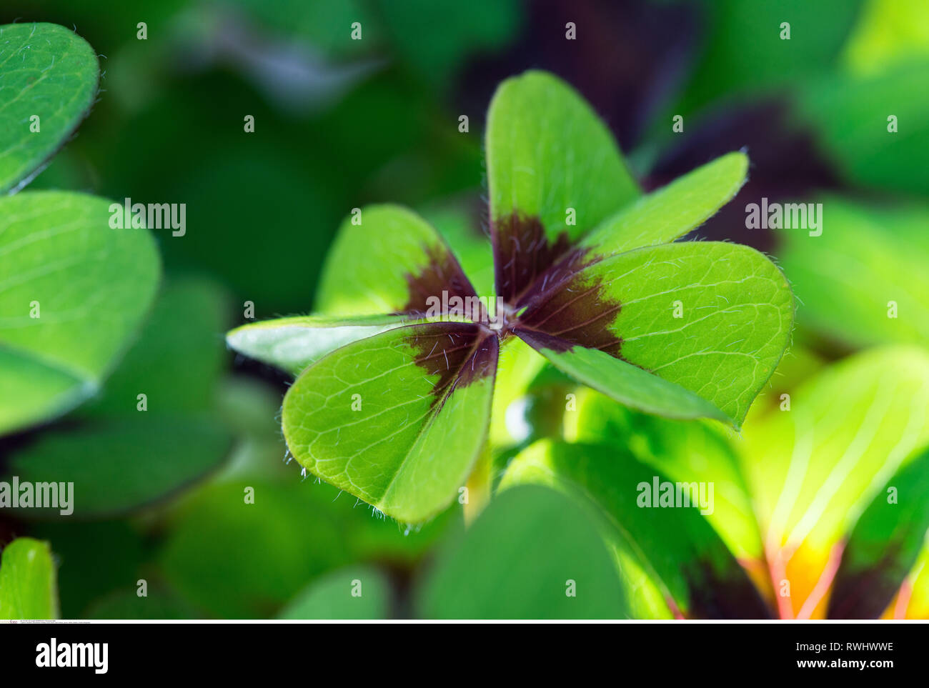 botany, lucky clover, Caution! For Greetingcard-Use / Postcard-Use In German Speaking Countries Certain Restrictions May Apply Stock Photo