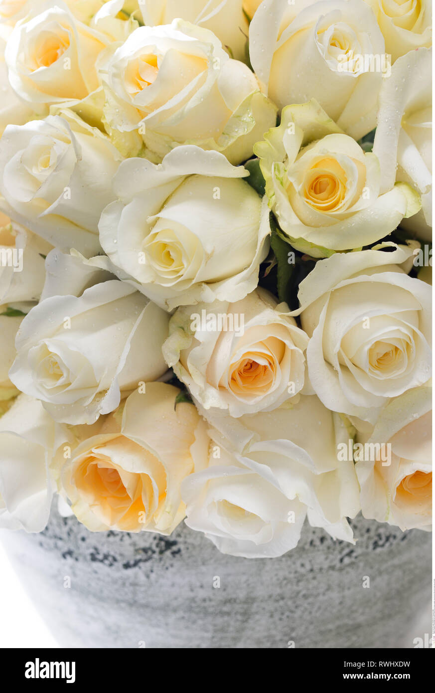 botany, rose blooms of the sort Cream de La , Caution! For Greetingcard-Use / Postcard-Use In German Speaking Countries Certain Restrictions May Apply - Stock Image