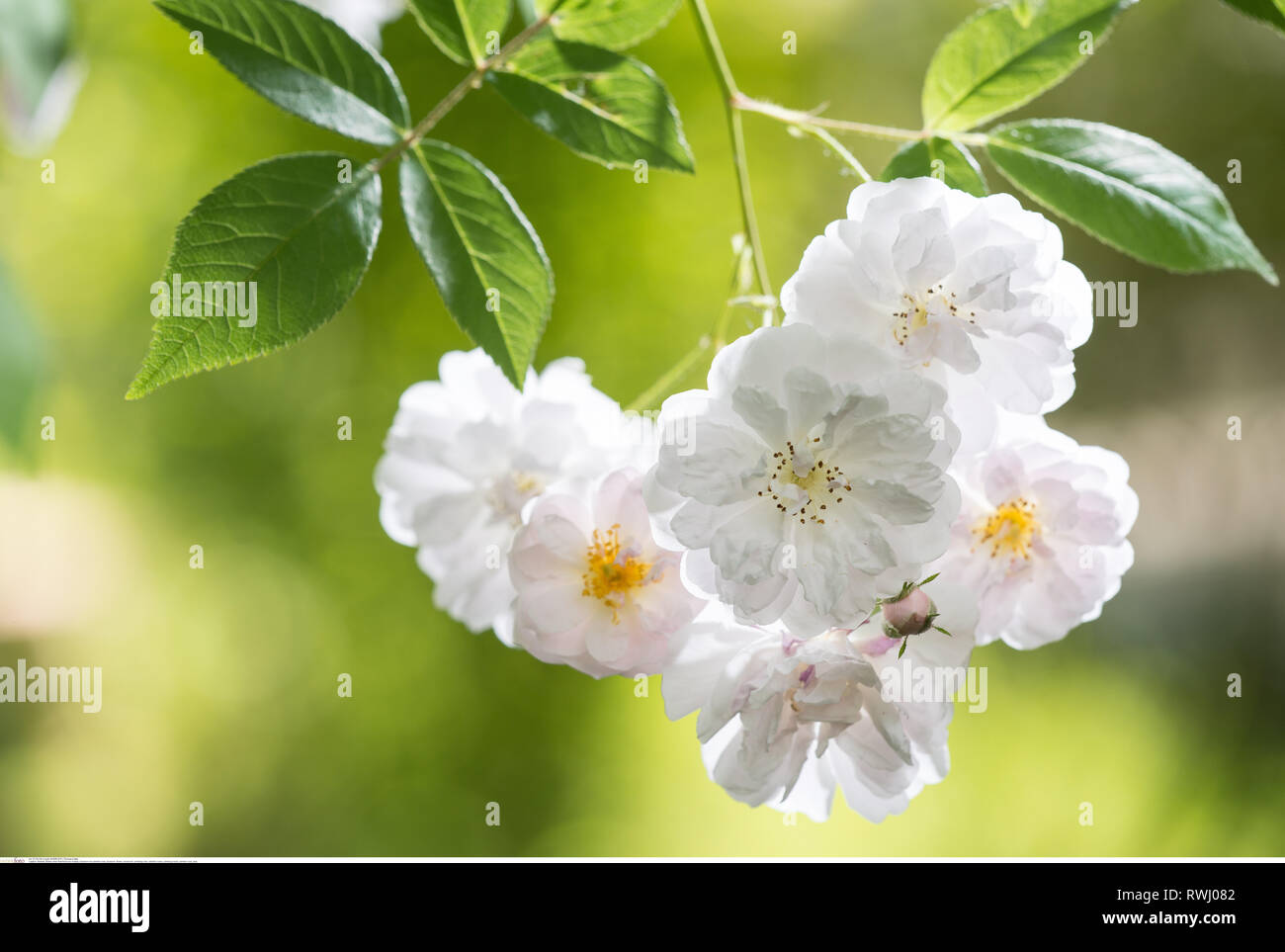 botany, blossom of a rambler rose, Caution! For Greetingcard-Use / Postcard-Use In German Speaking Countries Certain Restrictions May Apply - Stock Image