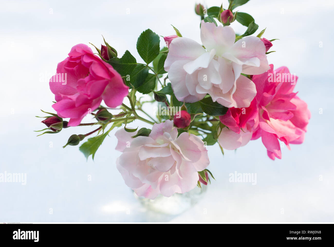 botany, Bodendecker roses as dainty bunch, Caution! For Greetingcard-Use / Postcard-Use In German Speaking Countries Certain Restrictions May Apply - Stock Image