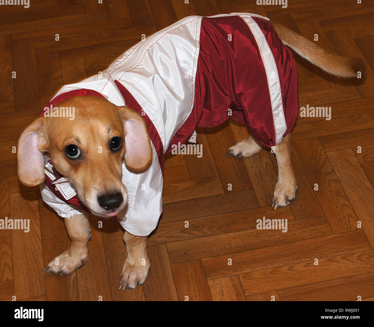 Dog dressed in nylon overalls - Stock Image