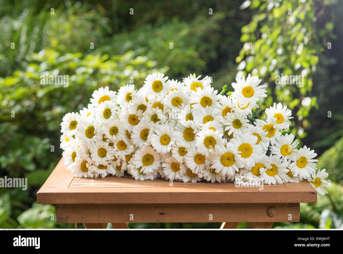 botany, leucanthemum maximum, Caution! For Greetingcard-Use / Postcard-Use In German Speaking Countries Certain Restrictions May Apply - Stock Image