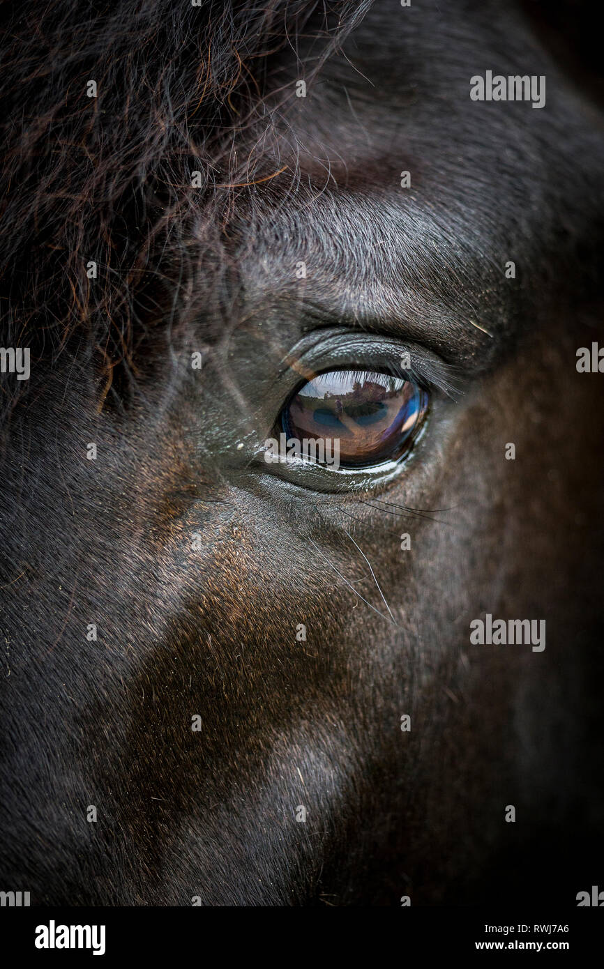 Paso Fino. Close-up of an eye of a black gelding. Switzerland - Stock Image