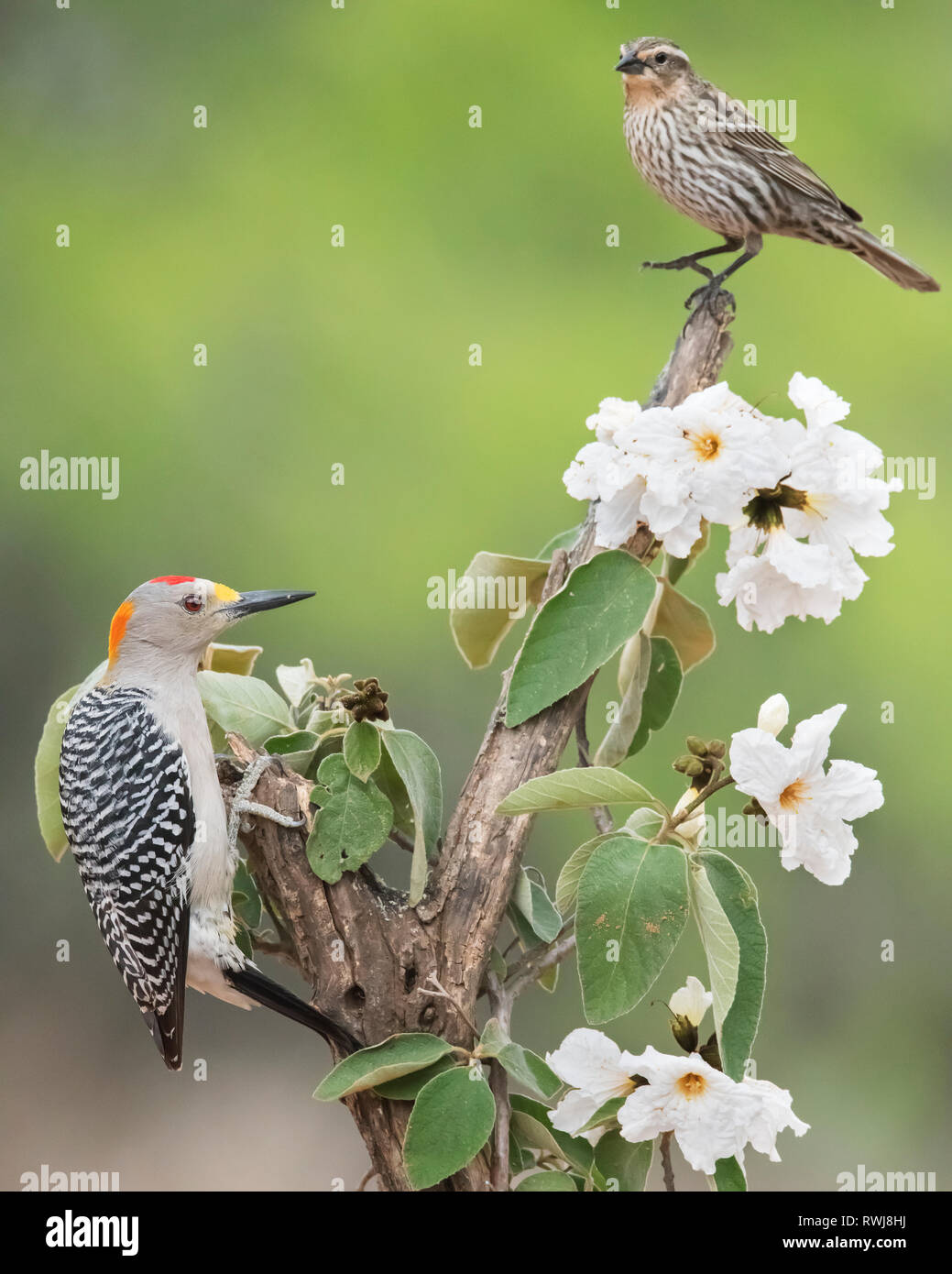 Male Golden-fronted woodpecker (Melanerpes aurifrons) and immature Blackbird on tree with white flowers, Laguna Seca Ranch Stock Photo